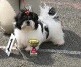 BABY FENA - Gwiny Magic Moravia   VN1,nejlepší štěně